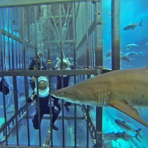 Dubai Mall Aquarium Shark Walker